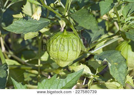 Tomatillo Fruit