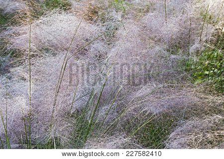 Hairawn Muhly Grass