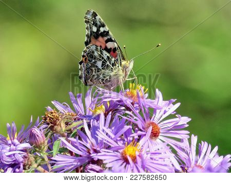 Red Admiral Butterfly On Wild Asters In Forest Of Thornhil, Canada, September 24, 2017