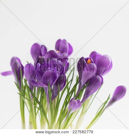 Violet Crocuses Isolated With Selective Focus Spring Postcard Concept. Toned.