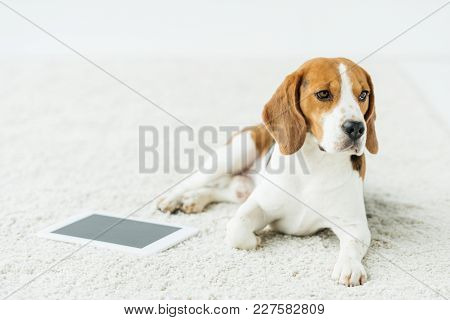 Cute Beagle Lying On White Carpet With Tablet
