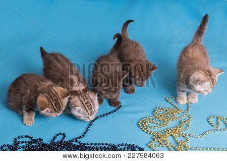 Five British Kittens On Blue Violet Background