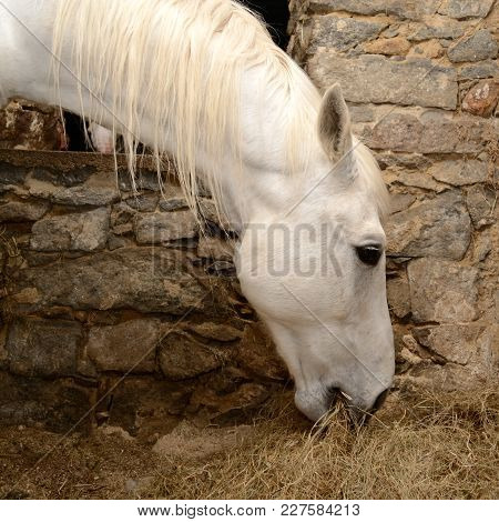 White Horse Eats In The Shelter Hay - Close-up Of Riding Horse Arabian Thoroughbred