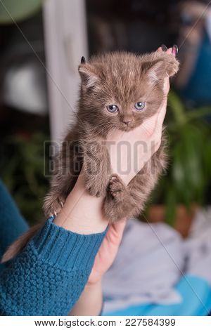 Cute Baby British Kitten With Stubby Tail In The Hands.