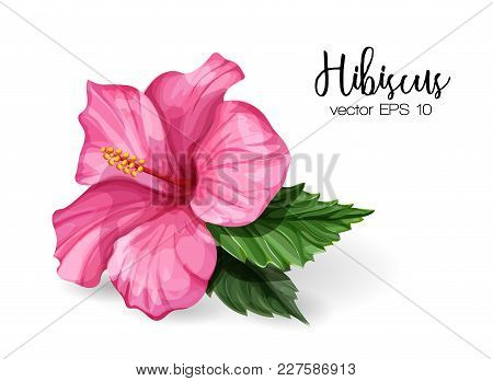 Hibiscus Flower. Pink Blooming Blossom With Green Leaves. Realistic Detailed Hand Drawn Exotic Flora