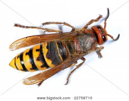 European Hornet (Vespa crabro) on white background
