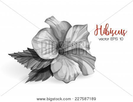 Hibiscus Flower. Monochrome Blooming Blossom With Green Leaves. Realistic Detailed Hand Exotic Flora