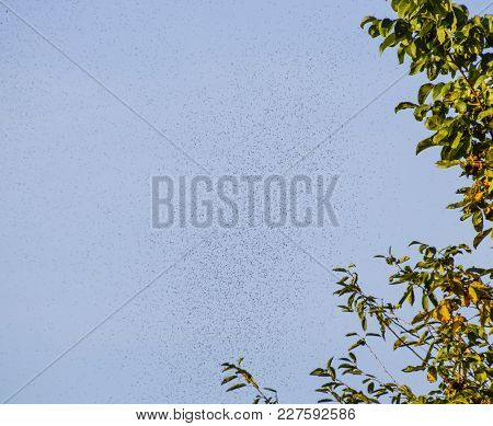 A Swarm Of Ants In The Air. Season Of Reproduction In Ants. Winged Ants