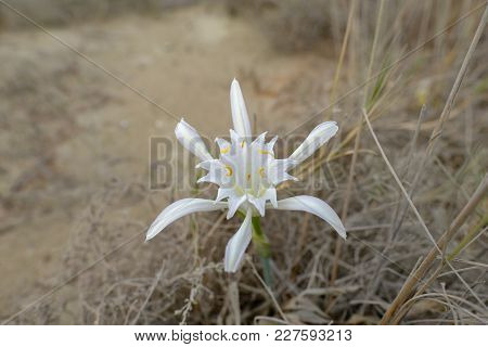 Sea Daffodil, Wild And In Its Natural Environment.  Late Summer Shot Of This Beautiful White Lilly T