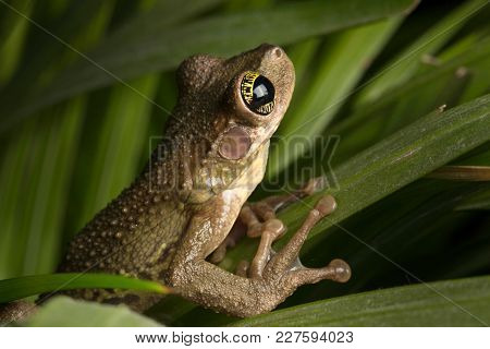 Tropical tree frog crawling in the high grass. Osyeocephalus taurinus