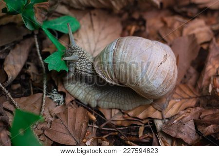 Grape Snail Feeds Up With Green Leaf In Undergrowth Forest