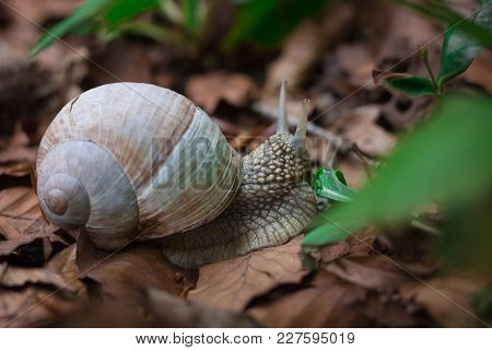 Snail Gastropoda Feeding Up With Green Grass In Undergrowth Forest