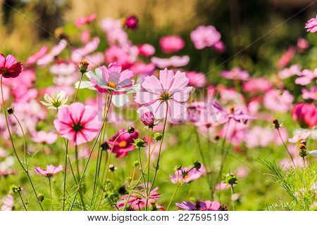 Pink Cosmos Flowers Against The Bright Blue Sky.