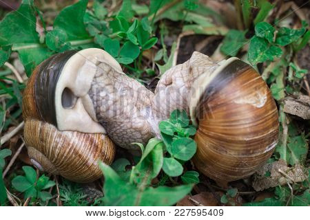 Couple Grape Snails Gastropoda Copulating In Undergrowth Forest Close-up