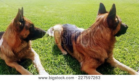 Two German Shepperds In Attention Over The Green Garden