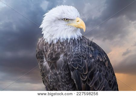 Freedom American white-headed eagle, beautiful hunter bird with white head and orange beak on cloudy background