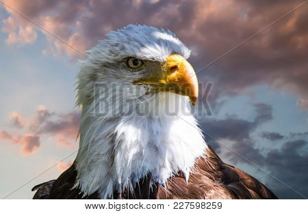 American white-headed eagle, beautiful hunter bird with white head and orange beak on cloudy background