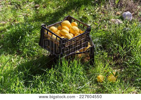 Agriculture. Boxes With Lemons Of A New Crop Stand On Green Grass.