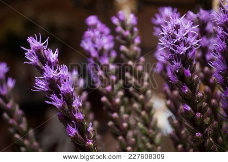 Close-up With Selective Focus Of Violet Liatris Spicata (the Dense Blazing Star Or Prairie Gay Feath
