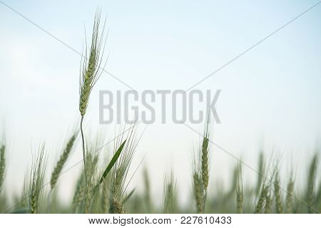 Close Up Image Of  Barley Corns Growing In A Field