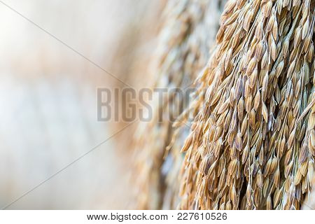 Dry Paddy Rice Seeds