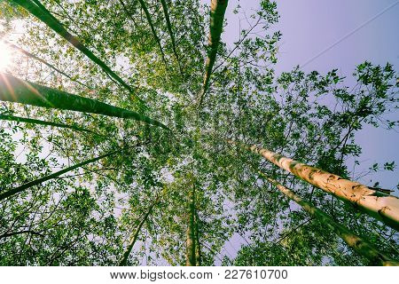 Retro Effect With Lens Flare Tall Trees Rising Skyward Converging Skyward With Green Leaves Beyond T