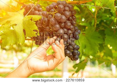 Red Grapes In The Vineyard Ready For Harvest