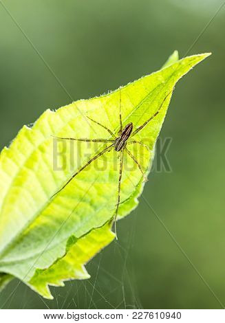 Spider And Spider Web On Green Leaf In Forest