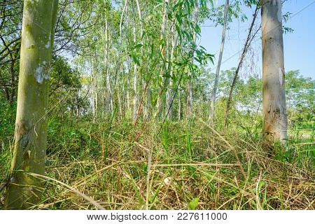 Stand Of Tall Slim Eucalyptus Trees Growing In Untidy Grass.