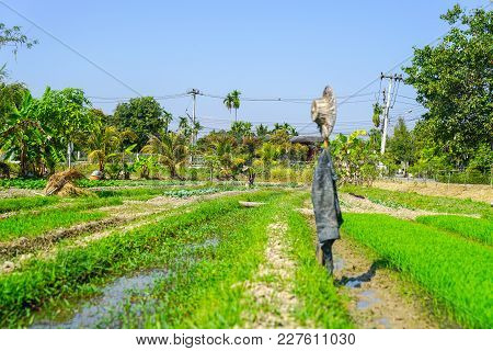 Chaing Mai Thailand - February 2 2018; Man Tending His Garden Plot Of Vegetables And Rice With Hat A