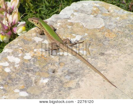 Maltese Wall Lizard found in Gozo which is an endemic sub-species. poster
