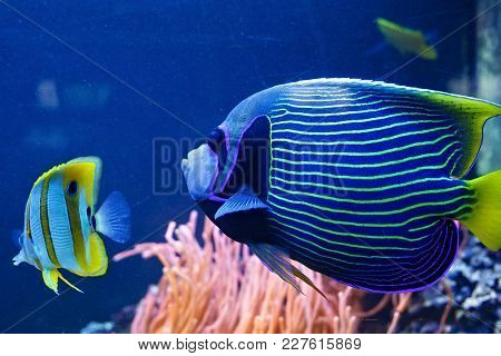 Emperor Angelfish (pomacanthus Imperator) Behind The Dusty Glass In The Oceanarium.