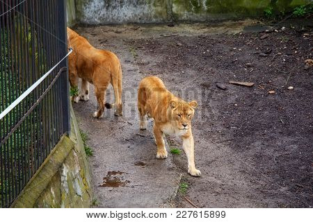 Lions Walking On Own Territory In The Zoo.