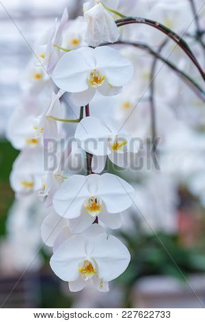 White Orchid On The Inflorescence In The Garden.