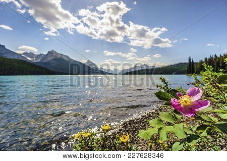 Blooming Wild Rose By Medicine Lake, Jasper National Park. Alberta, Canada