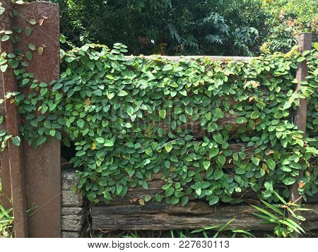 Creeping vine growing on the side of an old wooden wall.