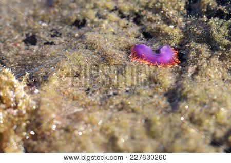 Sea Slug At Low Tide, Crystal Cove, Newport Beach, California