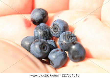 Blueberries In Human Hand