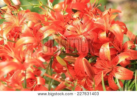 Orange Lilly Flowers