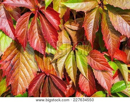 Multicolored Leaves Of Decorative Grapes In Autumn. Natural Background, Texture.