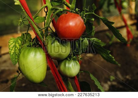 Growth Ripe And Green Organic Tomatoes In A Greenhouse In The Garden