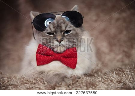 cool modern cat wearing bowtie and sunglasses is lying down on furry background