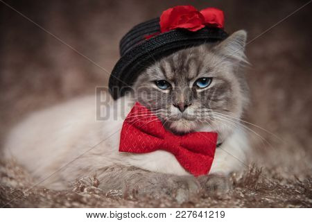 elegant cat wears black hat and red bowtie while lying down on furry background