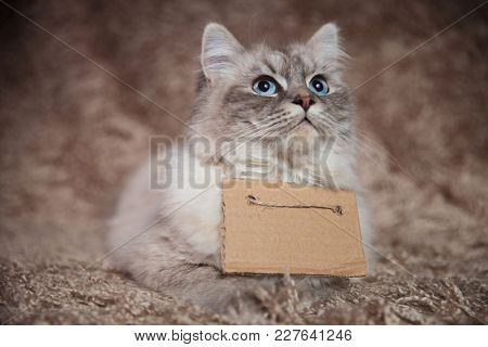eager little cat wearing a sign is looking up for food while lying down on a furry background