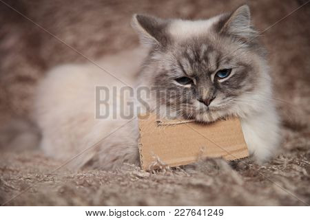 sad little cat wearing a blank sign at its neck and  is lying down on furry studio background