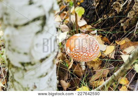 Mushroom Fly Agaric Growing In The Forest