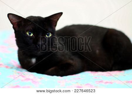 Black Cat Staring While Sitting In Bedroom