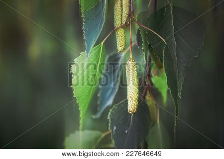 Branches Of Birch With Leaves And Buds, Spring Day, Close-up