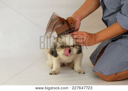 Asian Woman Dressing A Fashion Brown Hat For A Long Tongue Adorable Shih Tzu Dog
