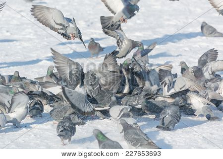 Pigeons Feed In The Winter. A Lot Of Pigeons. A Flock Of Pigeons. Birds Feed In Winter.